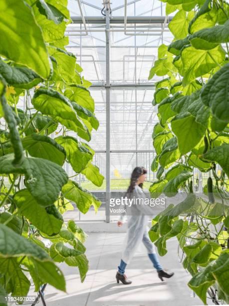 greenhouse for growing vegetables and salads - botanischer garten stock-fotos und bilder