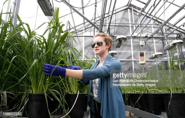 Greenhouse manager Marianne Maddeford tends to wheat plants inside their research greenhouse at Mendel Biotechnology on Tues. May 3 in Hayward,...