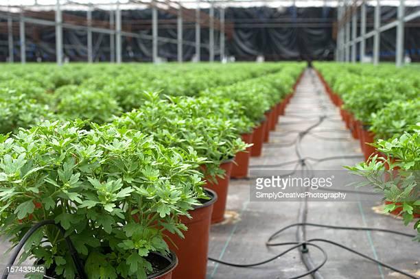 greenhouse plant irrigation - chrysanthemum stockfoto's en -beelden