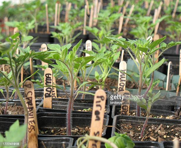greenhouse seedlings - transplant surgery stock photos and pictures