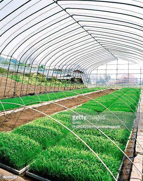 Greenhouse with beds of rice plants, Gumma Prefecture, Japan