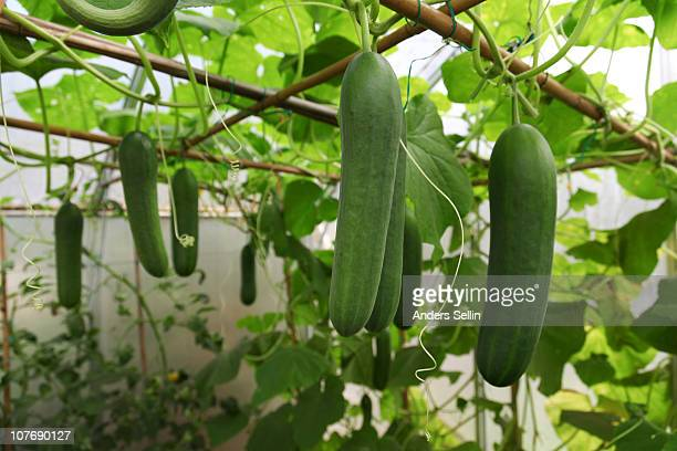 greenhouse with growing cucumbers - キュウリ ストックフォトと画像