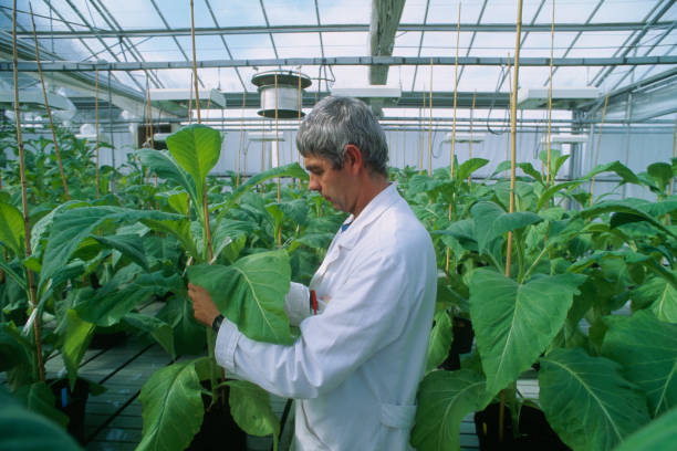 Greenhouse Worker Inspecting Plants at the Altadis Tobacco Institute of Bergerac