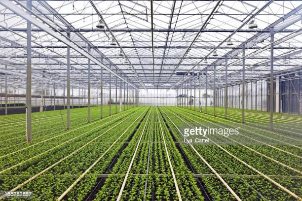 Greenhouse # 40 XXXL