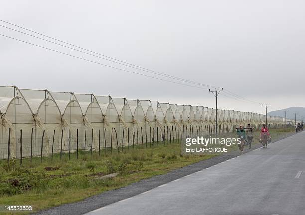 Greenhouses in a rose plantation on July 10 2010 in Ethiopia The country wasn't traditionally an important flower producer in Africa as the main...