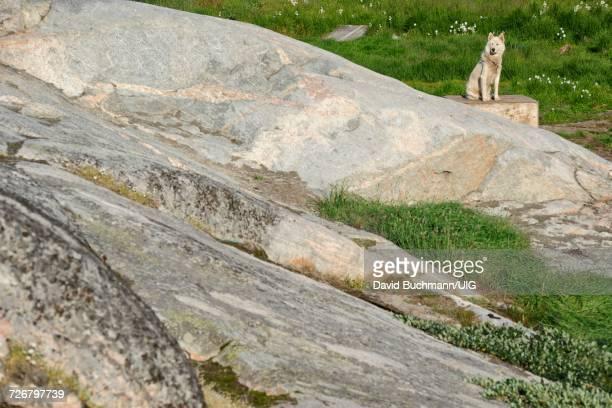 greenland dog in ilulissat - ilimanaq stock-fotos und bilder