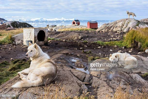 Greenland Dogs, Sled Dogs, Ilulissat