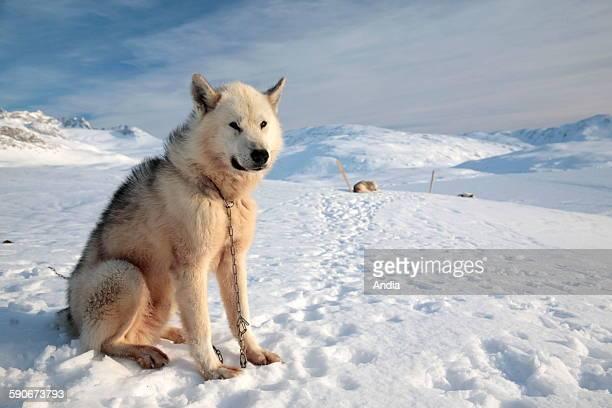 Greenland huskies near Tiniteqilaq in the district of Ammassalik in East Greenland