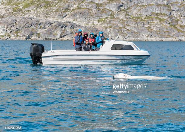 greenland, sermersooq, kulusuk, ikateq fjord, people on boat watching polar bear - sea swimming stock photos and pictures