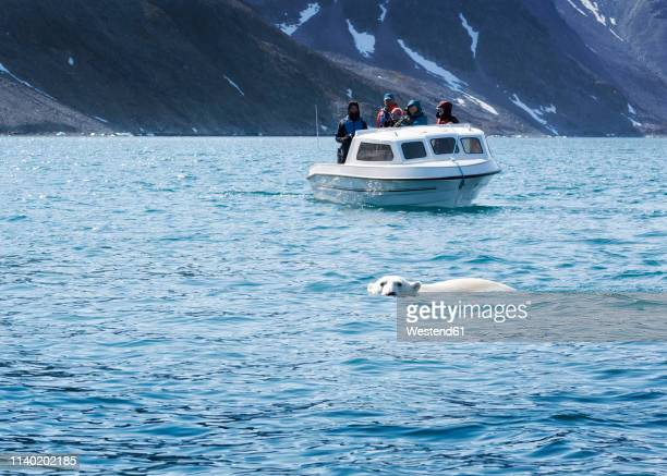 greenland, sermersooq, kulusuk, ikateq fjord, people on boat watching polar bear - sea swimming stock pictures, royalty-free photos & images