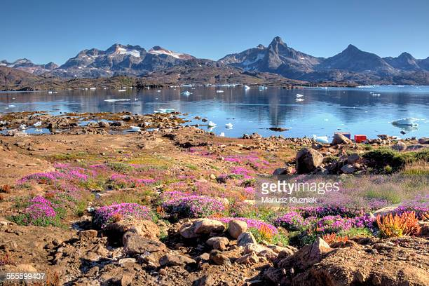 Greenland summer flowers and rocky landscape