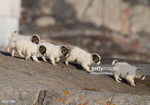 Greenlandic sled dog puppies