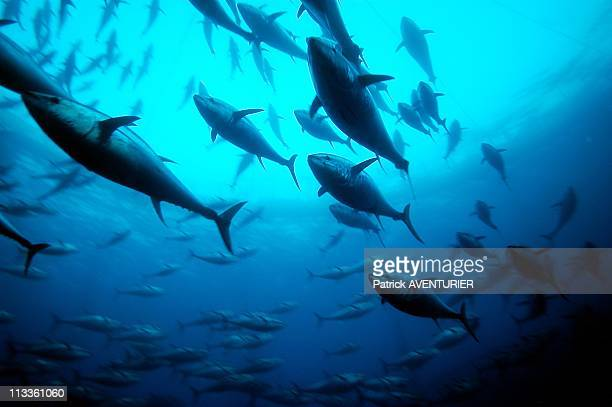 Greenpeace Operation To Save The Last Bluefin Tunas In The Mediterranean Sea On June 20 2007 Scholl of Tunas in a Tuna Cage in the Mediterranean Sea
