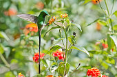 greentailed trainbearer hummingbird extracting nectar from