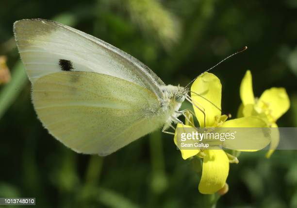 A greenveined white butterfly prods a flower for nectar in an urban garden in the city center on August 9 2018 in Berlin Germany NABU Germany's...