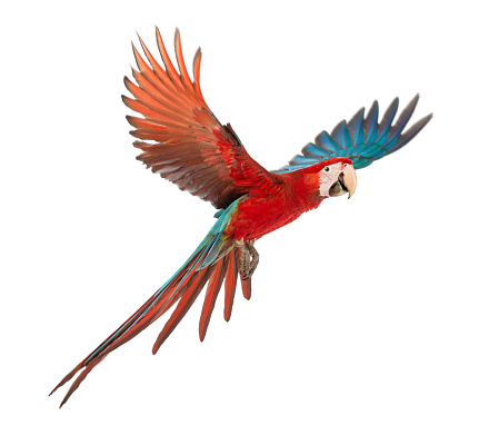 Green-winged Macaw, Ara chloropterus, 1 year old, flying in front of white background 877367116