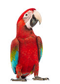 Green-winged Macaw, Ara chloropterus, in front of white background
