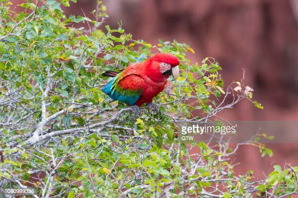 green-winged macaw or red-and-green macaw (ara chloropterus), buraco das araras, mato grosso do sul, brazil - {{asset.href}} stock pictures, royalty-free photos & images