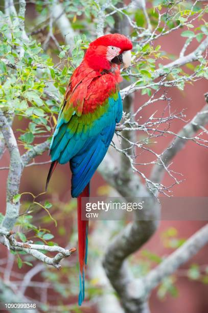 green-winged macaw or red-and-green macaw (ara chloropterus), buraco das araras, mato grosso do sul, brazil - {{asset.href}} stockfoto's en -beelden