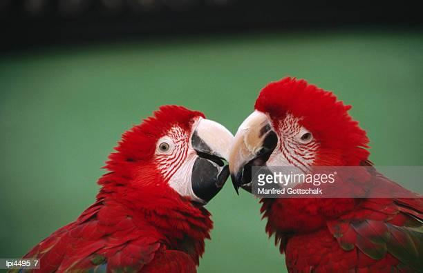 green-winged macaws (ara chloroptera) at jurong bird park, singapore, singapore - jurong bird park stock pictures, royalty-free photos & images