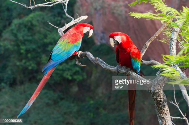 green-winged macaws or red-and-green macaws (ara chloropterus), buraco das araras, mato grosso do sul, brazil - {{asset.href}} stockfoto's en -beelden