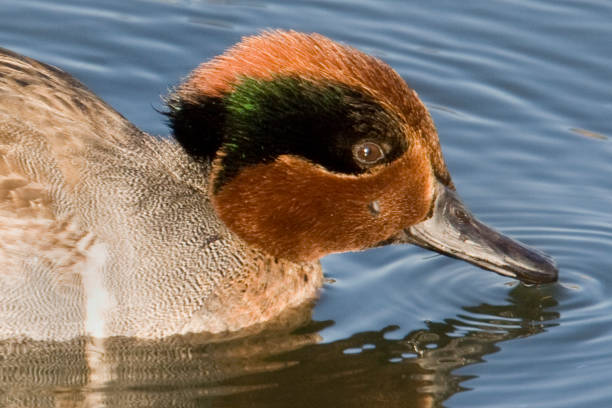 Green-Winged Teal Duck male feeding close-up