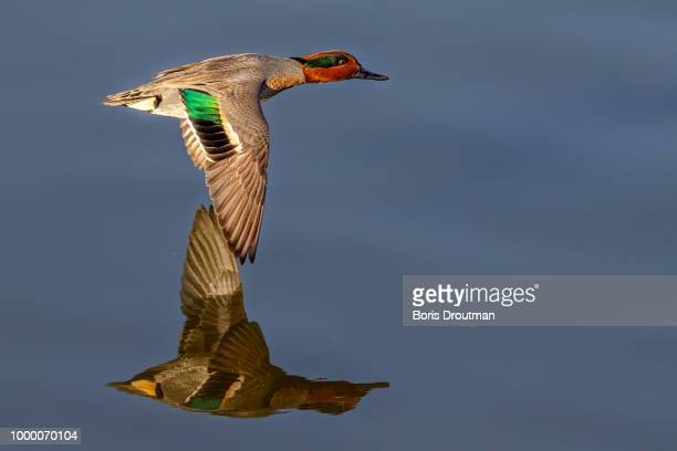 green-winged teal flyby - boris stock photos and pictures
