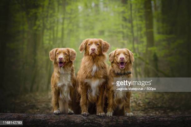 greenwood - nova scotia duck tolling retriever stock pictures, royalty-free photos & images