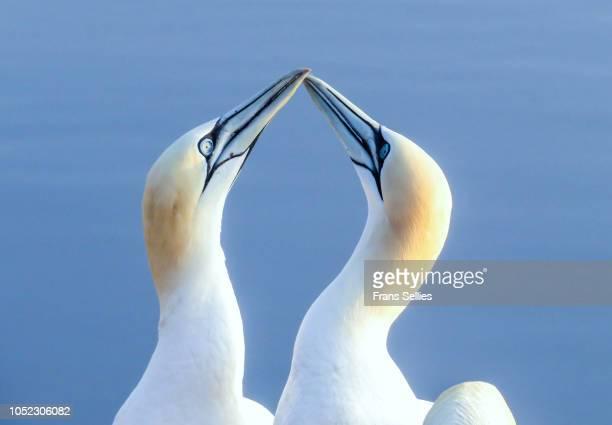 greeting ritual by northern gannets (morus bassanus or sula bassana) on helgoland, germany - northern gannet stockfoto's en -beelden
