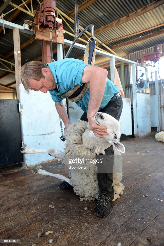 Greg Muir shears a Border Leicester sheep at a shearing shed near Lancefield, Australia, on Friday, Feb. 8, 2013. There is scope for considerable volatility in wool prices, given the uncertain global economic and financial backdrop, National Australia Bank said in an e-mailed report on Jan. 25. Photographer: Carla Gottgens/Bloomberg via Getty Images