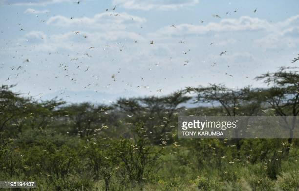 Gregarious locusts fly over a scrub at Larisoro village near Archers Post, on January 21, 2020. - The outbreak of desert locusts, considered the most...