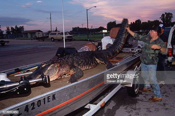 Gregg Davis holds up the tail of 'Killer No 3' on Bill Wessinger's boat at daybreak A controversial hunt was authorized in order to thin down...
