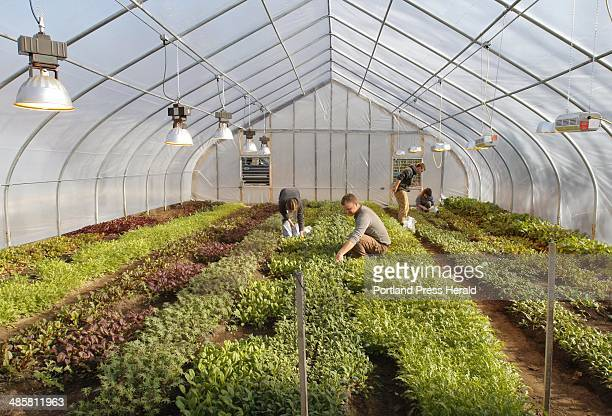 Gregory Rec/Staff Photographer Kit Nee Jeff Tarbox Jake Andrews and Glenn Connolly left to right pick greens in a greenhouse at Sunset Farm Organics...