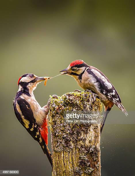 Greta spotted woodpecker parent and juvenile