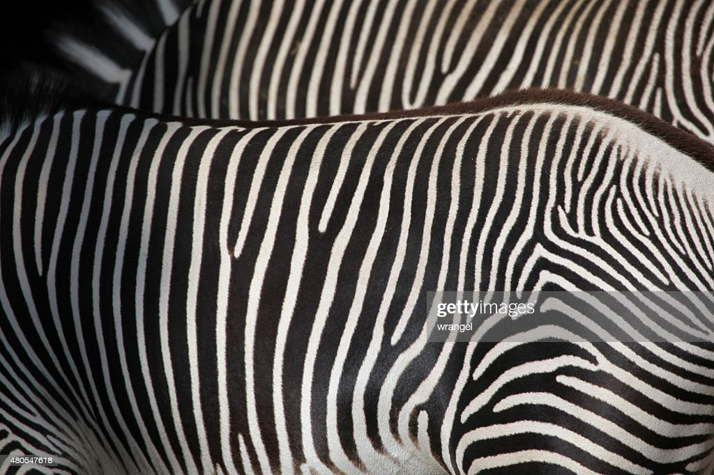 Grevy's zebra (Equus grevyi), also known as the imperial zebra. : Stock Photo