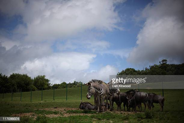 Grevy's Zebra and Wildebeest stand together at Port Lympne Wild Animal Park on June 21 2011 in Hythe England Port Lympne has welcomed a host of new...