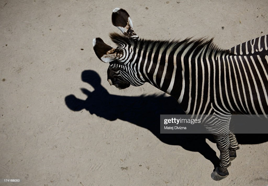 A Grevy's zebra looks at your shade during sunny day at Prague Zoo on July 21, 2013 in Prague, Czech Republic. This week was one of the driest weeks since 1951, according to Czech meteorologists.