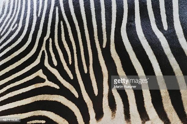 Grevy´s zebra (Equus grevyi) stripes, close up.