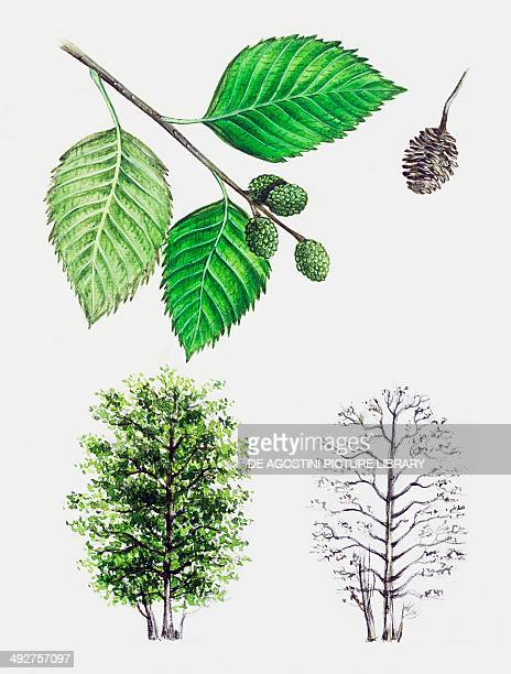 Grey Alder or Speckled Alder Betulaceae tree with and without foliage leaves flowers and fruit illustration