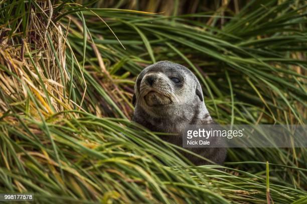 Grey and black Antarctic fur seal pup