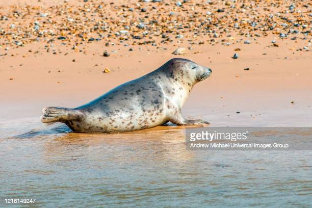 grey and common or harbor seals, phoca vitulina, on beach at blakeney point norfolk england uk - 英国ノーフォーク ストックフォトと画像