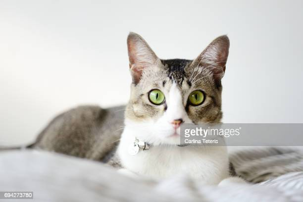 Grey and white cat on a bed looking directly at camera