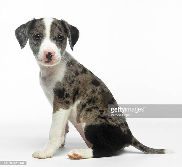 grey and white mixed breed dog - mixed breed dog stock pictures, royalty-free photos & images