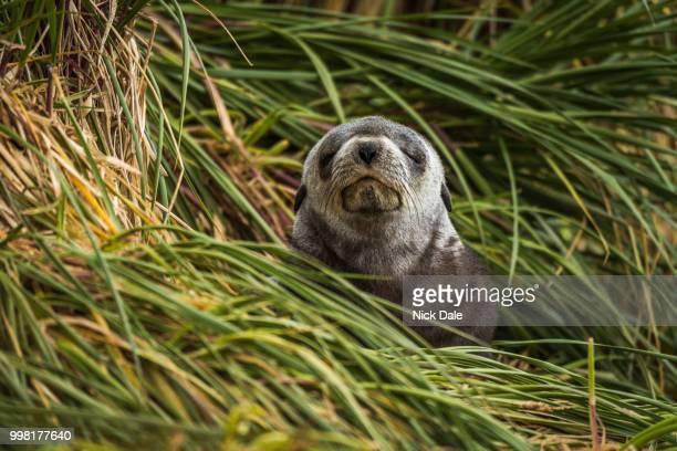 Grey Antarctic fur seal with eyes shut