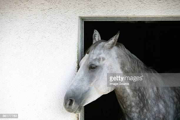 a grey appaloosa horse - appaloosa stock pictures, royalty-free photos & images