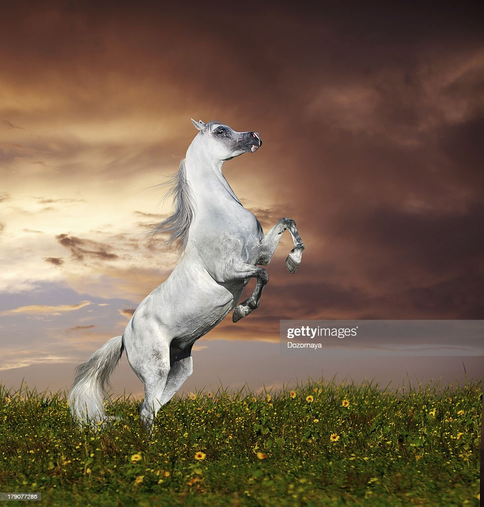 Grey Arabian Horse Rearing High Res Stock Photo Getty Images