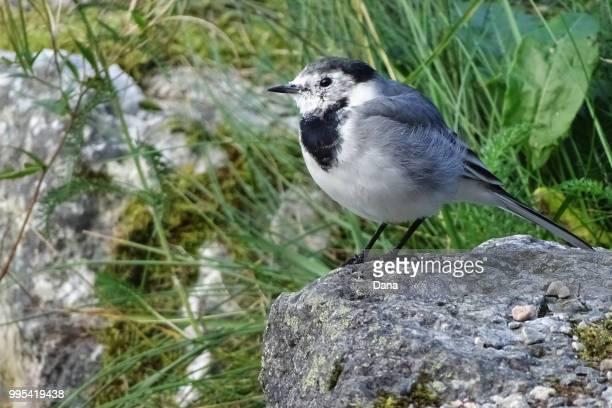 grey bird on stone - セキレイ ストックフォトと画像