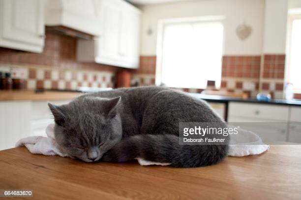 grey british shorthair kitten sleeping in kitchen - cat family stock photos and pictures