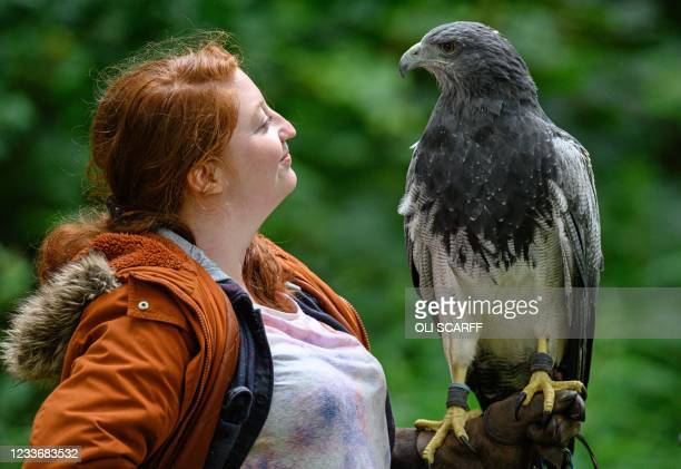 Grey Buzzard Eagle is displayed at the British Falconry Fair, held at the National Centre for Birds of Prey at Duncombe Park in northern England on...