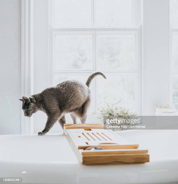 grey cat balances on the side of a white bathtub in a bright bathroom - domestic cat stock pictures, royalty-free photos & images
